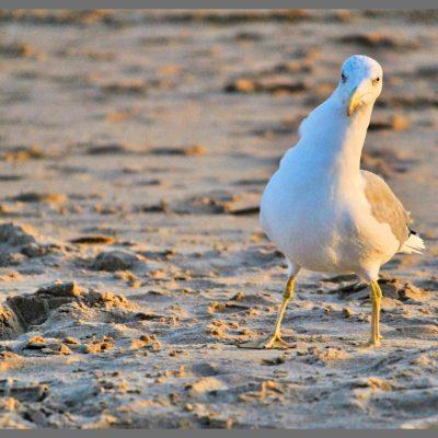 Fotografia profissional de gaivota na praia.